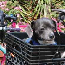 Black Dog in Bicycle Basket